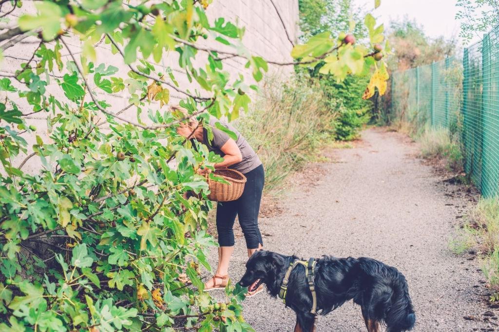 Los perros pueden comer higos