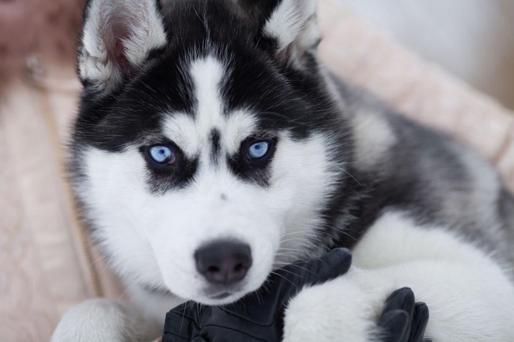 Nombres para perros Husky
