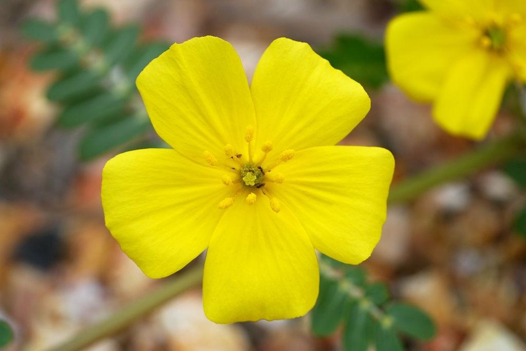 flor tribulus terrestris