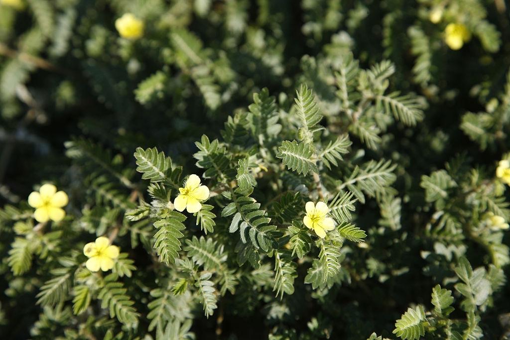 tribulus terrestris en flor